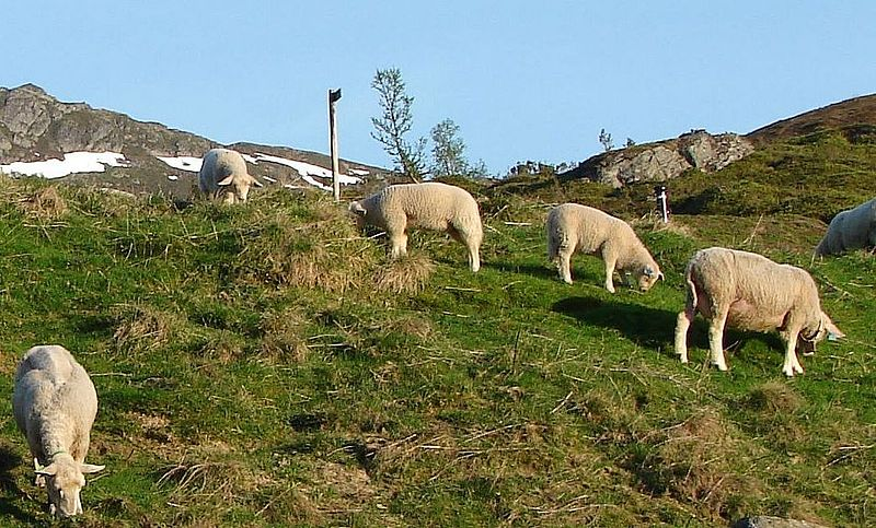 Sheep in Norwegian mountains
